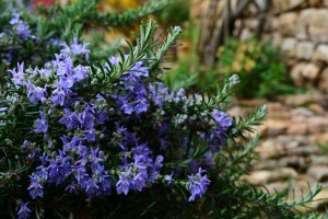 blue-flowers-rosemary-bush