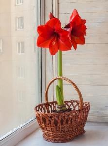 amaryllis-red-in-pot